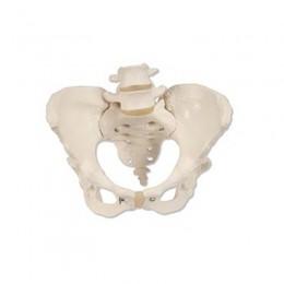 Esqueleto de la Pelvis Femenino para Enseñanza